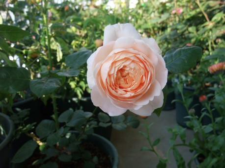 13ambridge_rose_03