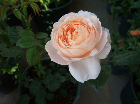 13ambridge_rose_04
