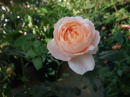 13ambridge_rose_07