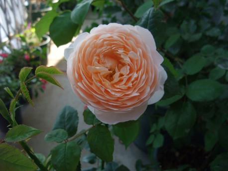 13ambridge_rose_09