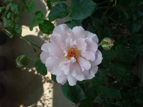 13couture_rose_tilia_07