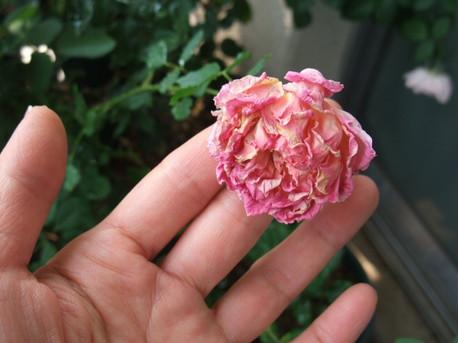 13dry_flower_01