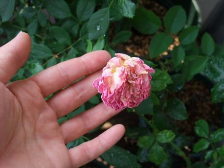 13dry_flower_2