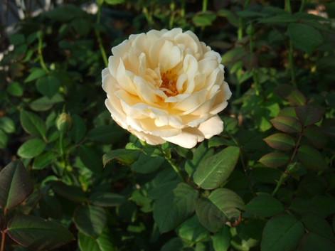 13ambridge_rose_10