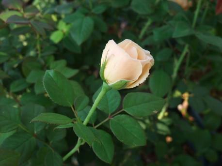 13ambridge_rose_11
