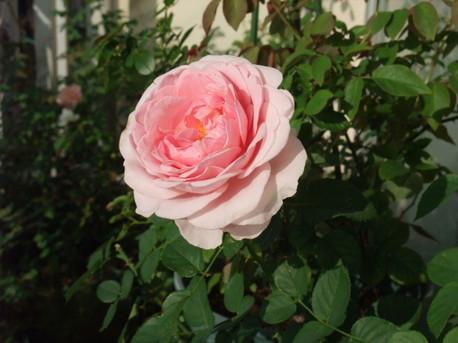 13lilac_rose_05