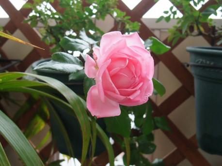 13la_rose_de_molinard_06_3
