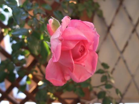 13la_rose_de_molinard_07