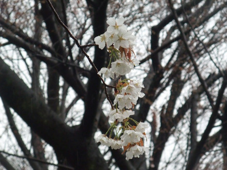 14sakura_to_ame_01_2