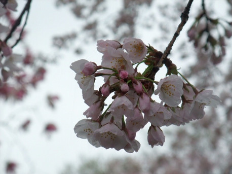 14sakura_to_ame_02