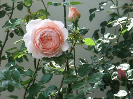 14ambridge_rose_02
