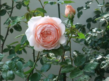 14ambridge_rose_03