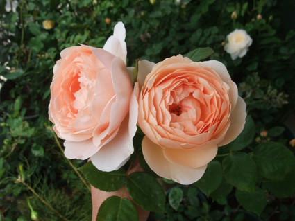 14ambridge_rose_07