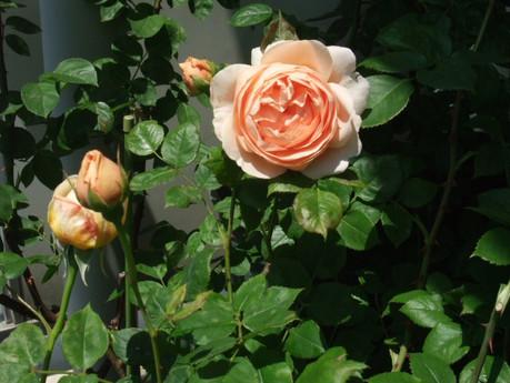 14ambridge_rose_09_2