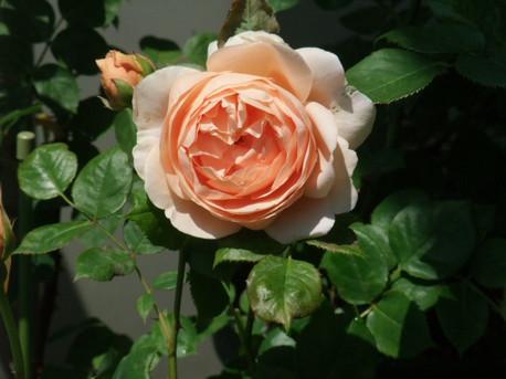 14ambridge_rose_11
