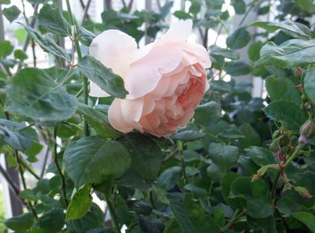 14ambridge_rose_14