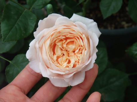 14ambridge_rose_15