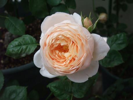 14ambridge_rose_16