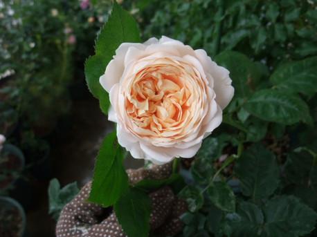 14ambridge_rose_17_2