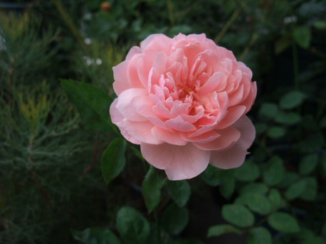 14the_alnwick_rose_03