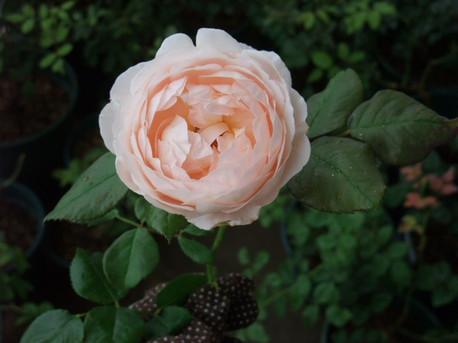 14ambridge_rose_18