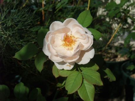 14ambridge_rose_20