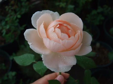 14ambridge_rose_22