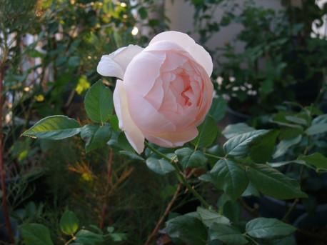 14ambridge_rose_24