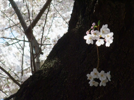 15sakura_07