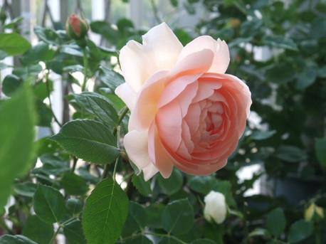 13ambridge_rose