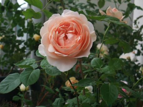 13ambridge_rose_01