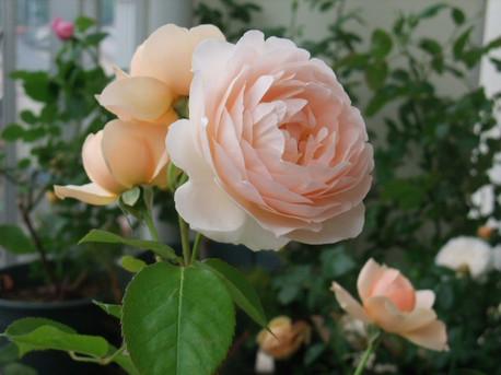 13ambridge_rose_02_2