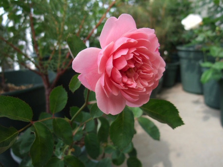 15the_alnwick_rose_01