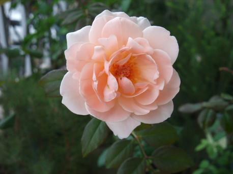 13ambridge_rose_08