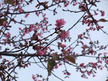 16kanhizakura