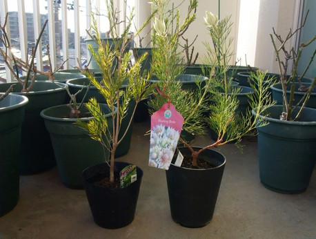 16tea_treeseruria
