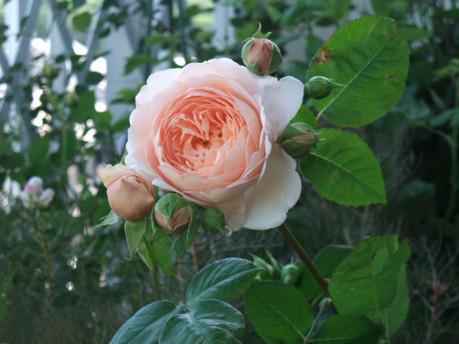 16ambridge_rose_01