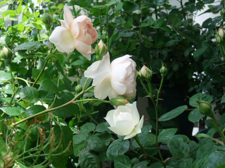 16season_of_roses