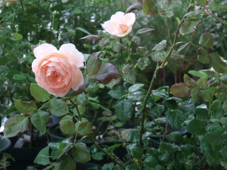 16ambridge_rose_03