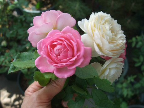 16english_roses