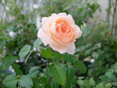 16ambridge_rose_06_2