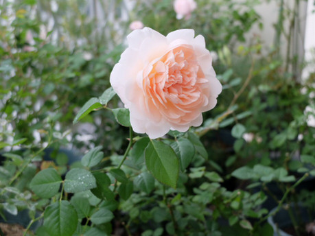 16ambridge_rose_07