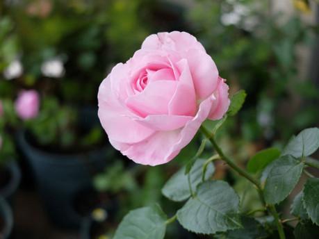 18lilac_rose_02