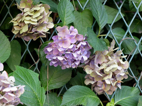 18hydrangea_in_july
