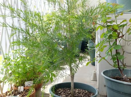 18melaleucaalternifolia