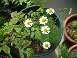 Conpanionplants02