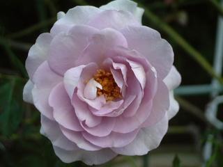 flowers_035