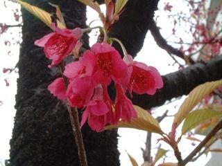 kanhizakura