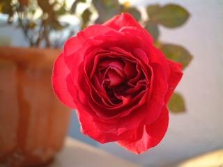 last_rose_01