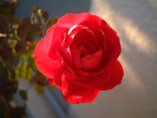 last_rose_02